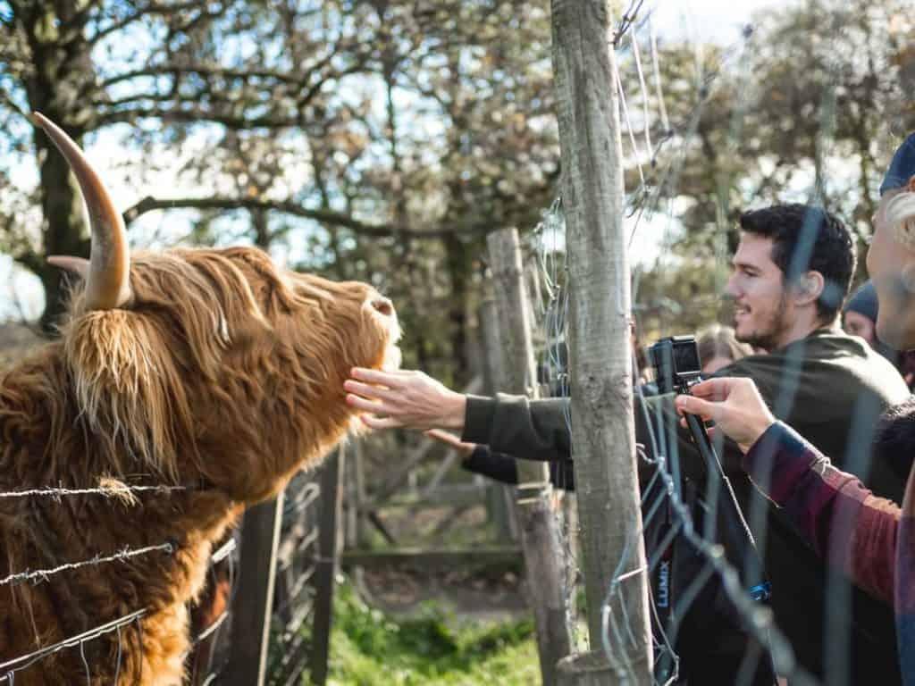 Man stroking a Highland Cow on a Haggis Adventures tour